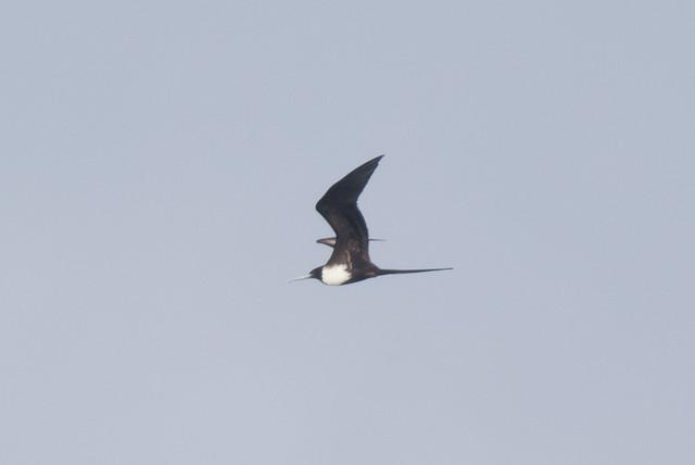 Magnificent Frigatebird-4.jpg