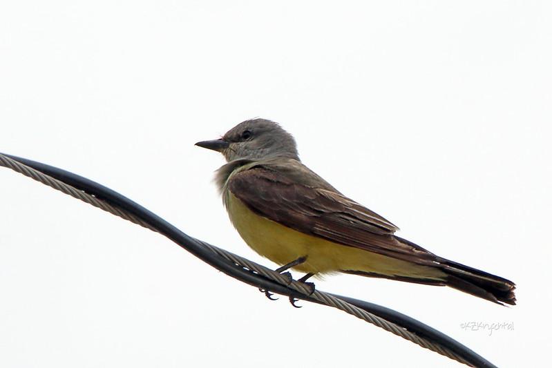 IMG_9772WesternKingbird