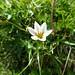 Snowdon Lily (Gagea serotina) (Kerrie Porteous)