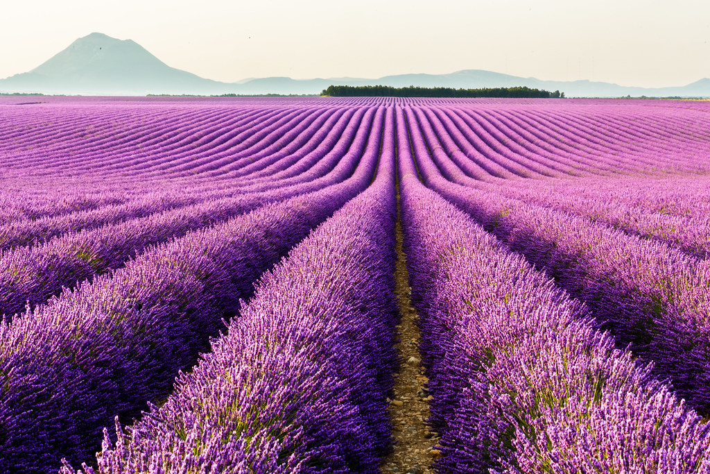 Smell The Spring of Magic And Violet Provence in France ...
