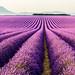 Lavender field in Valensole by Loïc Lagarde