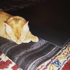 Ramses loves my yoga mats. It makes the morning interesting! #30daysofyoga