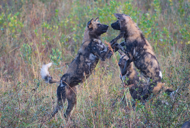 Playing Wild Dogs