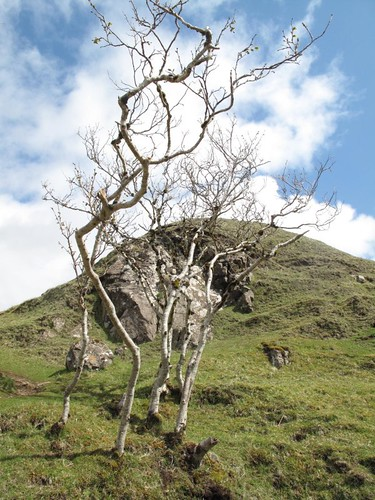 Trees in the Fairy Glen