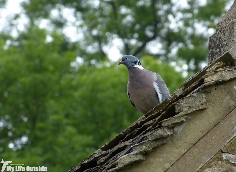 P1140180 - Woodpigeon
