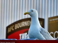 AFC Bournemouth fan