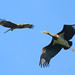Black Stork and Black Kite (Wim Bovens)