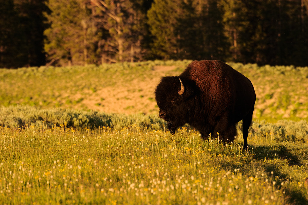 An American bison stands on the Storm Point Trail at sunset in Yellowstone National Park