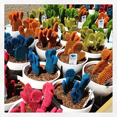 Check out these bright colored cacti. Surely the color is artificial. They look too vivid to be natural.