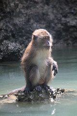 otter(0.0), mustelidae(0.0), sea otter(0.0), animal(1.0), monkey(1.0), mammal(1.0), fauna(1.0), macaque(1.0), wildlife(1.0),