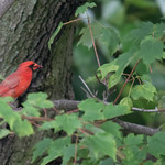 The northern cardinal (Cardinalis cardinalis)
