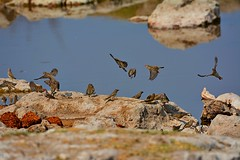 DSC_8334 Weaver Birds and Quailfinch at a waterhole 1 Namibia 2016