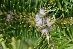 Gout disease on Fraser fir
