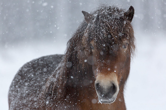 profile of an Exmoor pony