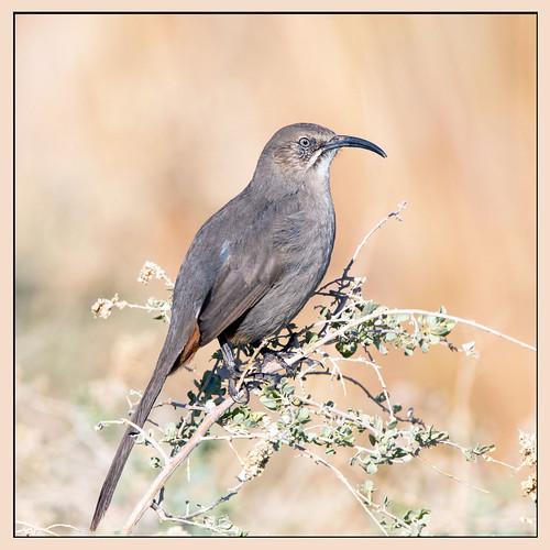 american america canon nature lasvegas wildlife wild western southwest sun desert clarkcounty clark flickr vegas bird henderson nevada nevadadesert preserve
