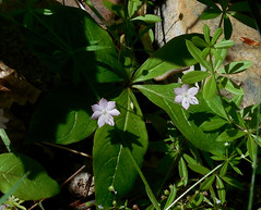 Broadleaf starflower, Trientalis borealis  subsp. latifolia