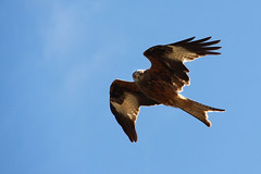 animal, bird of prey, wing, fauna, buzzard, accipitriformes, kite, beak, bird, flight,