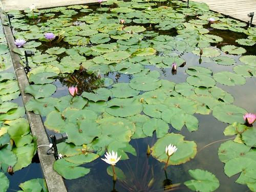 あしかがフラワーパーク_蓮の花たち