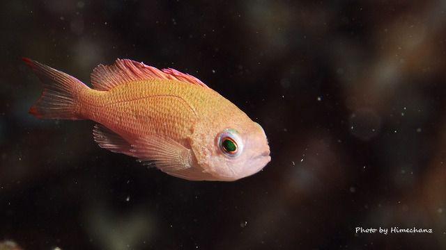 ケラマハナダイ幼魚。なんだかリアルすぎる。。
