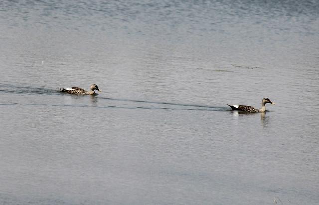 Indian Spot Billed Duck