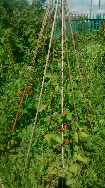 Marley Hill allotment July 15 4