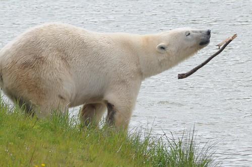 Eisbär Pixel im Yorkshire Wildlife Park