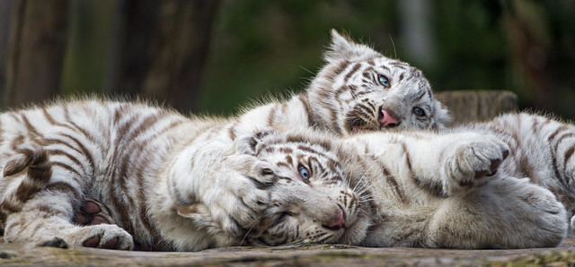 The white tigers cubs cuddling and playing