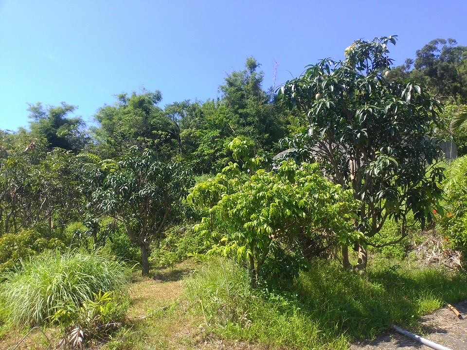 學田的芒果樹們