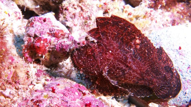 ハダカハオコゼの幼魚