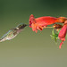Ruby-throated Hummingbird by snooker2009