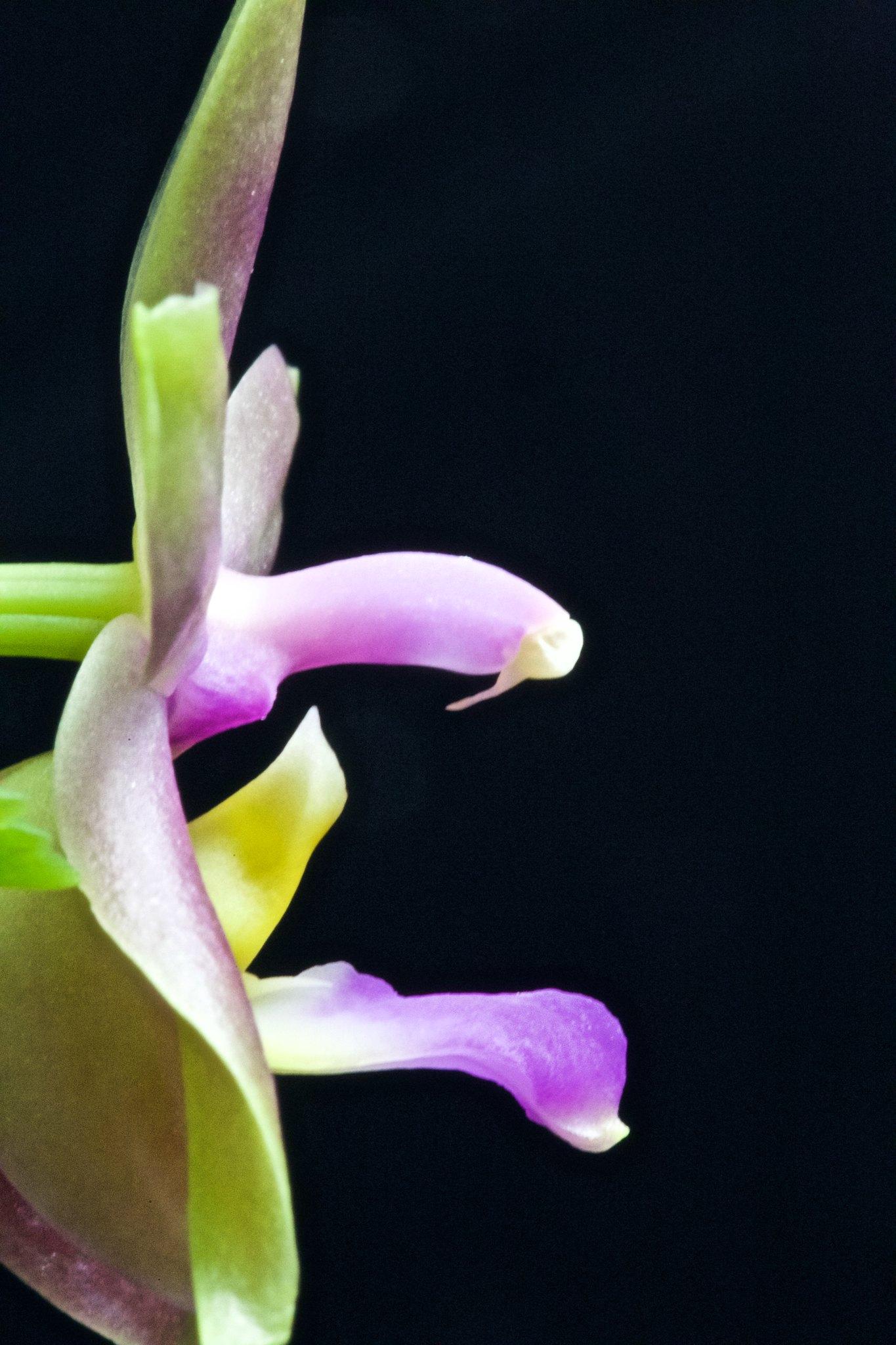Phalaenopsis valentinii x bellina 20206490490_3cefcbaea0_k