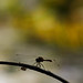 Dragonfly Silhouette with Bokeh by E2A2