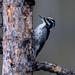 Small photo of American Three-toed Woodpecker (Picoides dorsalis)