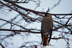 Bohemian Waxwings on Mountain Ash 2