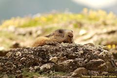 Page 6 marmotte champêtre