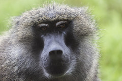 animal, baboon, monkey, mammal, fauna, drill, close-up, old world monkey, new world monkey, macaque, ape, wildlife,