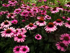 garden cosmos(0.0), marguerite daisy(0.0), dorotheanthus bellidiformis(1.0), annual plant(1.0), flower(1.0), plant(1.0), daisy(1.0), flora(1.0), daisy(1.0), purple coneflower(1.0), petal(1.0),