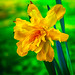Daffodil-Painting-4