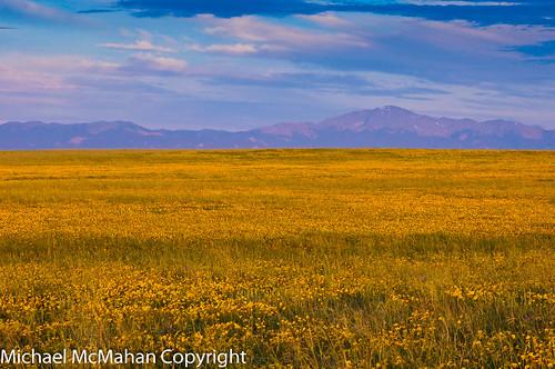 yellowflowers pikespeak