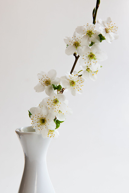 Little cherry-plum sprig in bloom