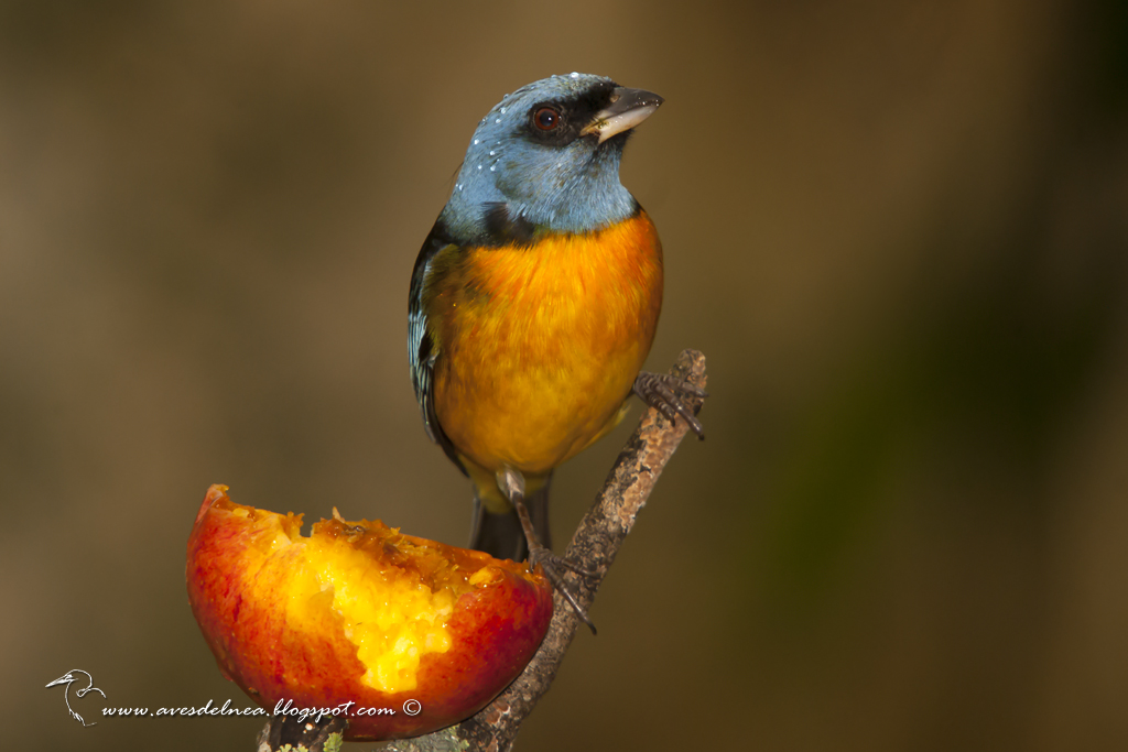 Naranjero (Blue-and-yellow Tanager) Pipraeidea bonariensis