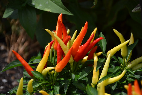 Ornamental Pepper