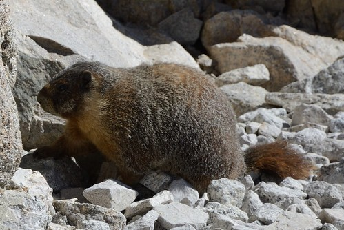 Santa Claus, the Fattest Marmot Ever