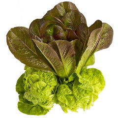 brassica(0.0), produce(0.0), chard(0.0), lettuce(1.0), cabbage(1.0), vegetable(1.0), komatsuna(1.0), leaf(1.0), leaf vegetable(1.0), food(1.0),