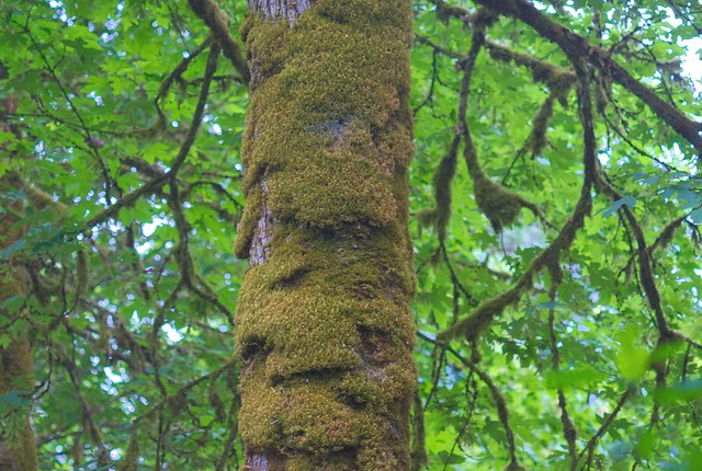 Tree Moss - Sony DSLR A300 with vintage Takumar 1:2.8 120 mm  Super-Multi-Coated Prime (M42 Mount)