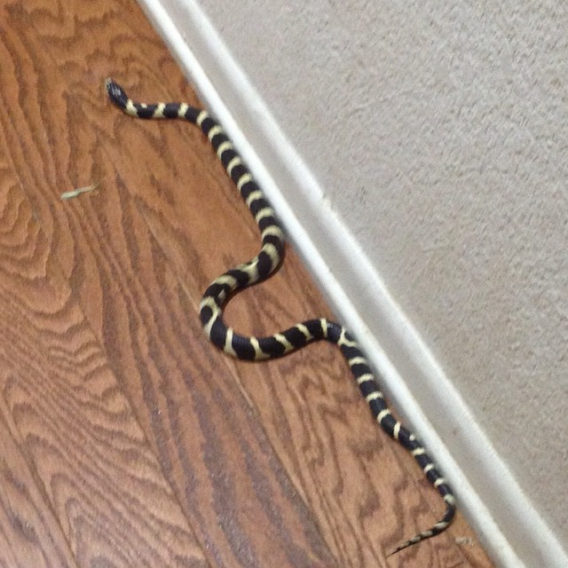 Guess who I almost walked on in the hallway just now? No poisonous king snake. Eats rattlers, but I don't want him in my house!