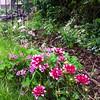 garden june 28 2015 6