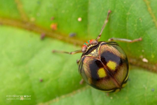 Pill-like planthopper (Hemisphaerius sp.) - DSC_4157