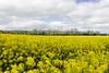 Fields of Rapeseed