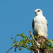 Black-shouldered Kite (Dave Montrevil)